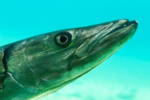 Fisk. (Foto: Marc Dalmulder.)
